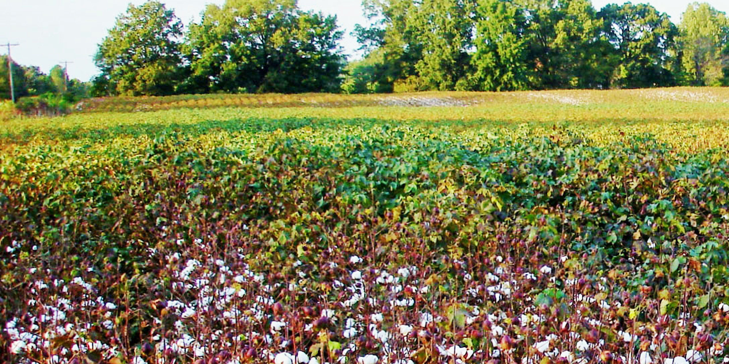 5.cotton field